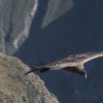 A condor in flight