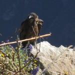 A condor perches on a rock