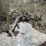 A dead cactus that looks like a giant spider