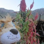 Lewis the Lion sees the quinoa plant for the first time