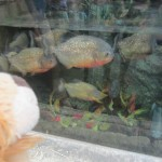 Lewis the Lion is glad of the glass between him and these razor-toothed piranhas