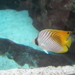 A Foxface fish glides by