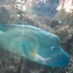 A big Napoleon Wrasse swims by effortlessly