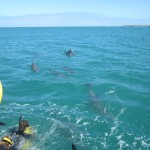 The pod of dolphins are curiuos about the swimmers