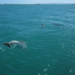 A dolphin leaps out of the water and dives back down