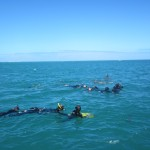The wild dolphins delight the snorkellers