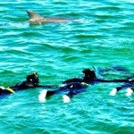 The wild bottle-nosed dolphins perform for the swimmers