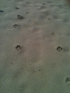 Monkey paw-prints in the sand