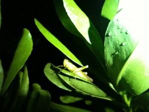 A huge cricket perches on a leaf near the Tioman rainforest