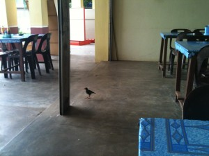 A mynha bird checks out the restaurant floor for crumbs
