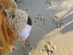 Lewis notices some fresh dingo paw prints in the sand