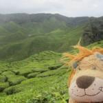 Lewis thinks the tea plantations look like a maze