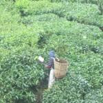 A tea clipper throws the tea into the basket behind his head