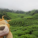 The mist descends over the Boh Tea Plantation