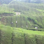 The tea pickers work in the rolling hills