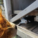 Lewis the Lion watches the cute kittens play