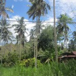 Palm trees and banana trees fill up the landscape