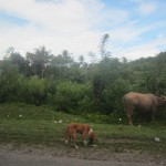 Buffaloes and dogs rummage by the roadside