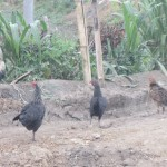 Chickens peck in the dirt