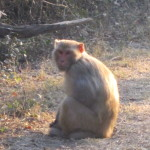 A macaque monkey sits on the path