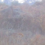 A spotted deer camouflaged in the scrubland