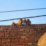 Monkeys run along the rooftops