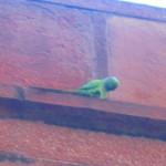 Parakeets swoop around in the twilight