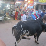 Cows are seen commonly on the Indian streets