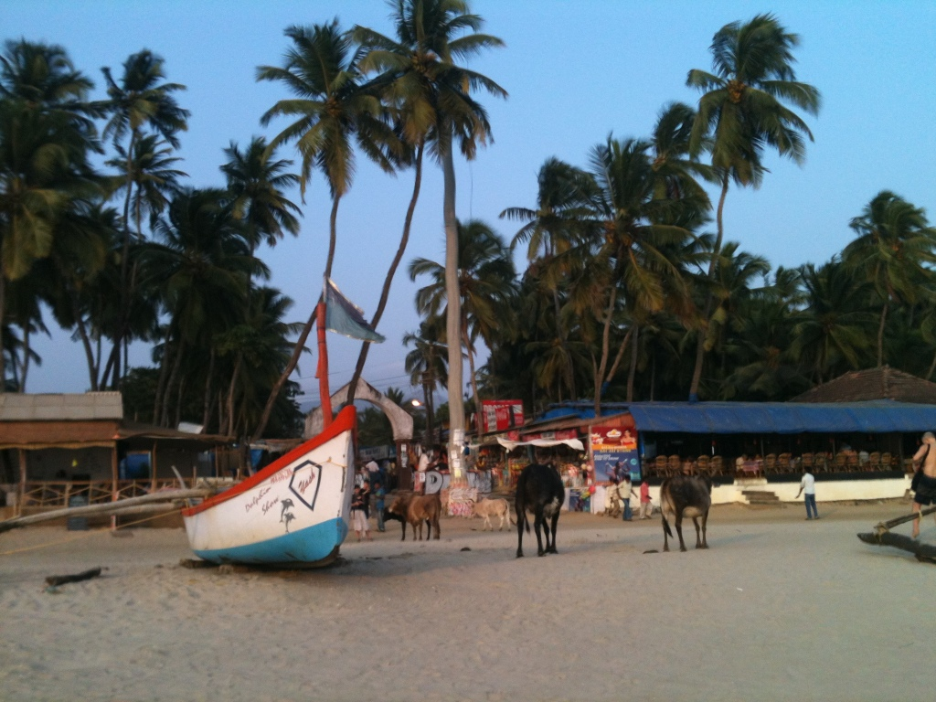 Cows stray onto the beach